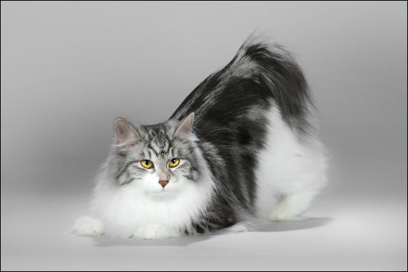 WCH Metelitsa katė