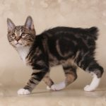 SIGUR veislynas, kurilų bobteilai katė