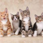 Kurilų Bobteilų katės
