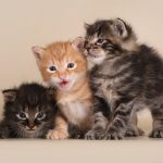 Kurilų bobteilai kačiukai
