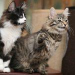 kurilu bobteilai 2 katinai
