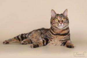 Kurilų bobteilų katė