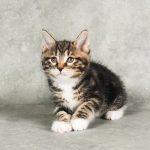 Kurilu bobteilai kačiukas 2