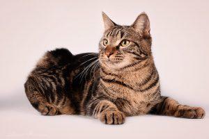 Kurilų bobteilų katinas