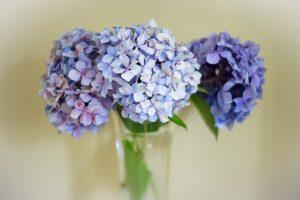 nuodingi augalai - hortenzijos