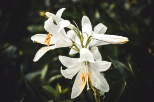 nuodingi augalai - lelijos