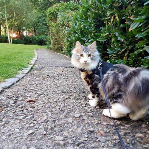 Kaip pripratinti katiną prie pavadėlio?